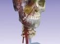 BONElike™ Crânio - Versão de Luxo para Fins Didácticos, 7 Peças