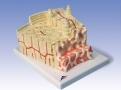 Estruturas ósseas - Corte Tridimensional de um Osso Lamelar