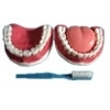 Arcada dentária com todos os dentes removíveis TZJ-312B - Anatomic