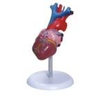 Coração Tamanho Natural com 2 partes TGD-0322 - Anatomic