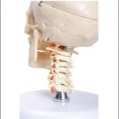 Crânio com coluna cervical e cérebro c/ 10 partes