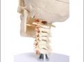 imagem de Crânio com coluna cervical e cérebro c/ 10 partes
