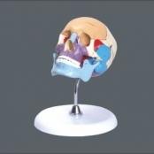 Cranio didatico colorido