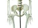 imagem de Esqueleto humano 1,70 cm