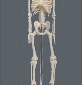 Esqueleto Humano 45cm