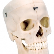 BONElike™ Crânio – Estruturas Ósseas do Crânio, 6 Peças