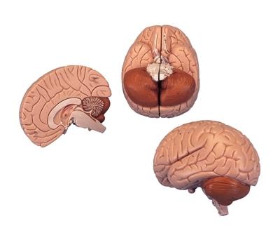 Cérebro, 2 Partes