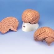 Cérebro para Estudos Introdutórios, 2 Partes