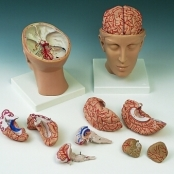 Cérebro com Artérias Montado sobre a Base da Cabeça, 8 partes