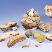 Cérebro Gigante, 2.5 vezes o tamanho natural, 14 partes