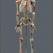 Esqueleto Articulado e Muscular 168 cm TGD-0101-A