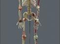 imagem de Esqueleto Articulado e Muscular 168 cm TGD-0101-A