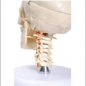 Crânio com coluna cervical e cérebro c/ 10 partes TGD-0103-F