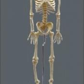 Esqueleto 168 cm flexível c/ suporte TGD-0101-B
