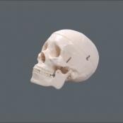 Crânio c/ 3 Dentes Removíveis TGD-0102