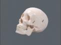 imagem de Crânio c/ 3 Dentes Removíveis TGD-0102