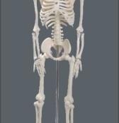 Esqueleto 85 cm TGD-0112