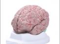 imagem de Cérebro c/ 8 partes