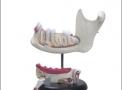 imagem de Anatomia do Dente c/ 6 Partes