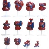 Coração desenvolvimento em 12 fases