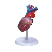 Coração Tamanho Natural c/ 2 partesCoração Tamanho Natural c/ 2 partes