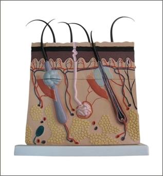 Corte de pele ampliada com as camadas