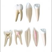 Conjunto de Dentes Ampliados - Canino, Incisivo e Molar