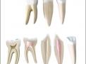 imagem de Conjunto de Dentes Ampliados - Canino, Incisivo e Molar