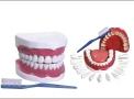 imagem de Modelo de Dentição c/ todos os dentes (...)