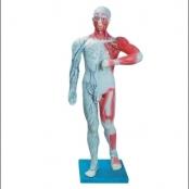 Sistema Muscular e Linfático