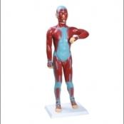 Modelo Muscular 85cm c/ órgãos internos 11partes