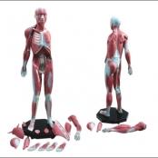 Modelo Muscular Assexuado 1.70 m com 34 partes