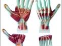imagem de Mão Muscular em 3 Partes Ampliada