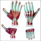 Mão Muscular em 3 Partes Ampliada