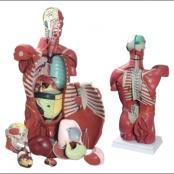 Torso Masculino Musculado com órgão internos