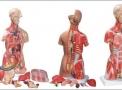 imagem de Torso Muscular de Luxo c/ 24 partes