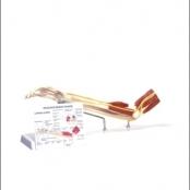 Braço c/ Ossos / Músculos / Ligamentos e Nervos