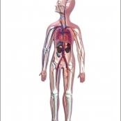 Sistema Circulatório em Resina Emborrachada