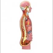 Sistema Nervoso Simpático em Resina Emborrachada