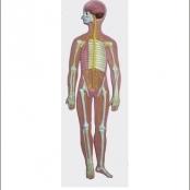 Sistema Nervoso em Resina Emborrachada