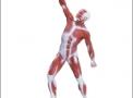 imagem de Modelo Muscular de 50 cm em Resina Emborrachada
