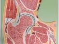 imagem de Modelos Anatômicos Articulações  COL (...)