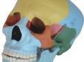 imagem de Modelos Anatômicos  Esqueletos  COL (...)
