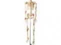 Esqueleto 1,68cm flexível c/ suporte TGD-0101B ANATOMIC