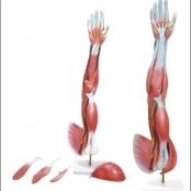 Braço Musculado TGD-4010- Anatomic – Anatomic