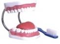 Arcada dentária TGD 0312 B – Anatomic