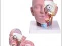 Cabeça com 4 partes TZJ-0300- Anatomic – Anatomic