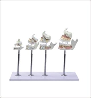 Desenvolvimento da Dentição TZJ-0313-D- Anatomic – Anatomic