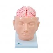 Cabeça com Cérebro em 9 Partes Sdorf