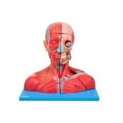 Cabeça com Cérebro e Pescoço com Parte do Tronco Musculados Sdorf
